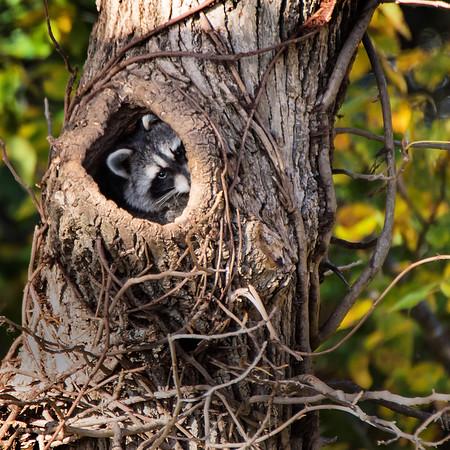 Wild raccoon in a tree den