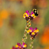 A Bumble Bee pollinating a wild flower