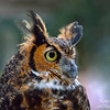 Great Horned Owl. South Florida