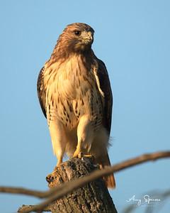 Redtailed Hawk in morning sun