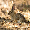 A wild Cottontail Rabbit sitting in dried Oak leaves