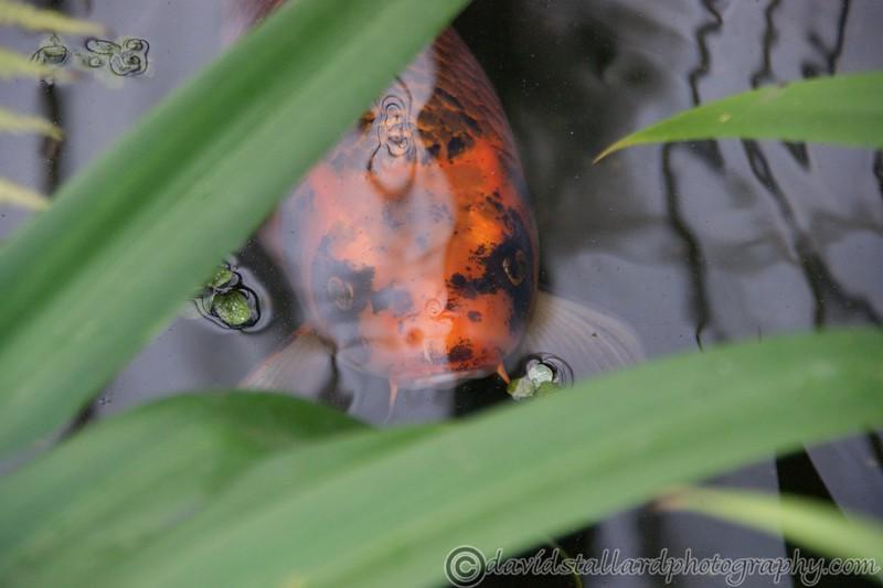 Carp through the reeds at Kew