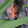 Carp through the reeds at Kew