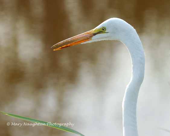 Great Egret, SNWR, SC