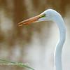 Great Egret, SNWR, SC