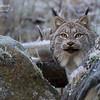 Lynx, Alaska.