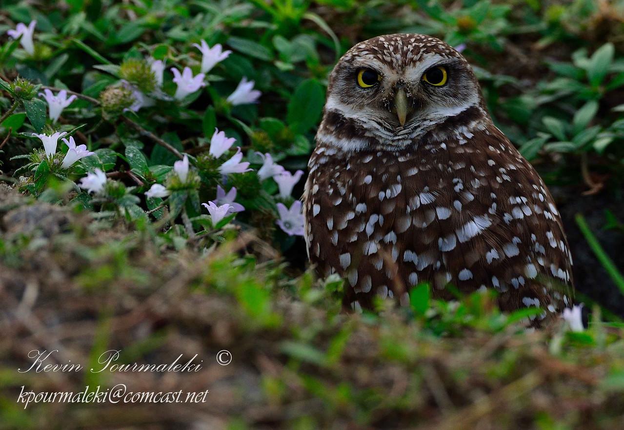 Burrowing Owl. Piccolo park, South Florida