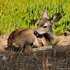 A Black tailed Deer fawn