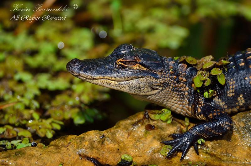 Baby Alligator.  Shark Valley, Everglades National Park, South Florida.