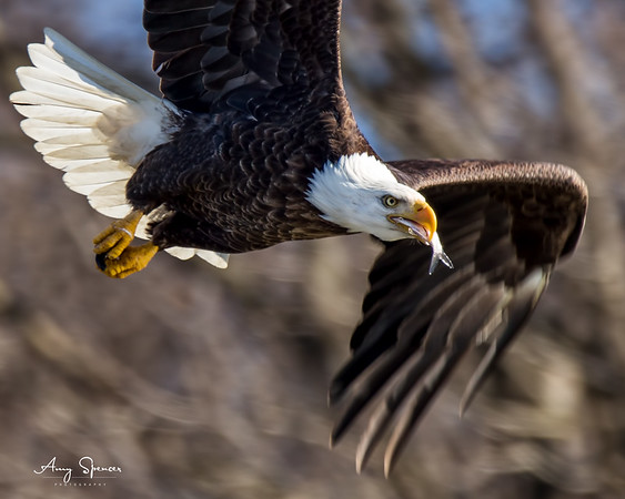 This eagle transferred the fish from talons to beak while flying.   Iowa River, Iowa City, Iowa