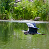 Great Blue Heron Flaps Up