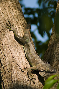 Green Iguana sunbathing in tree, Dangriga, Stann Creek, Belize.