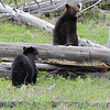 """We first found the bear on the left, watched it for 45 minutes or so, then the Cinnamon bear on the right walked down the creek at first startling the first bear. They then proceeded to watch each other, bluff charge and then approached each other with a short """"kiss""""! Photography by Jim R Harris Bozeman Montana Photographer"""