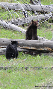 "We first found the bear on the left, watched it for 45 minutes or so, then the Cinnamon bear on the right walked down the creek at first startling the first bear. They then proceeded to watch each other, bluff charge and then approached each other with a short ""kiss""! Photography by Jim R Harris Bozeman Montana Photographer"
