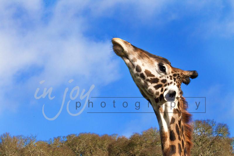 Giraffe from Safari Park West, California.