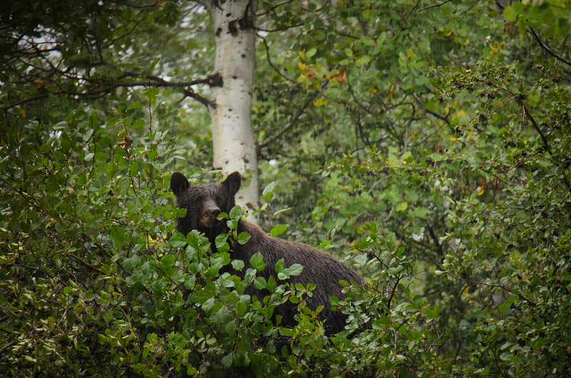This big guy was hanging out in the trees while I was riding to a trailhead to hike.<br /> Grand Teton National Park.  Labor Day weekend, 2015.