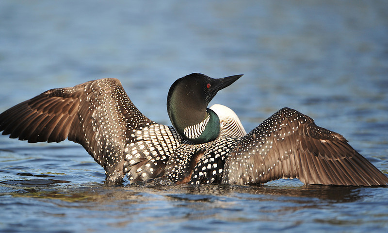 Common Loon 01