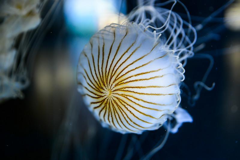 Méduse (Ortie de mer)