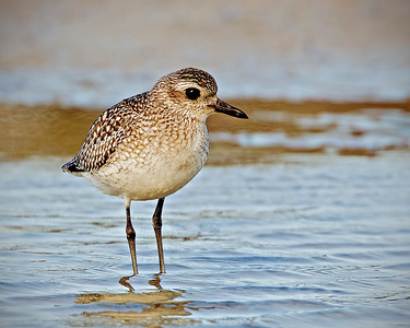 Black Bellied Plover in winter coat