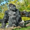 Great Ape, San Diego Zoo, San Diego, CA