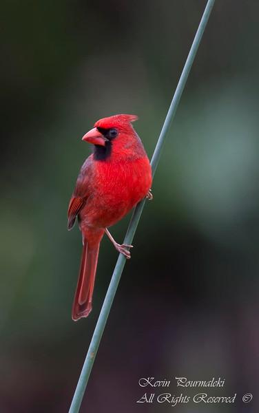Northern Cardinal. South Florida.