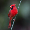 Northern Cardinal. South Florida.