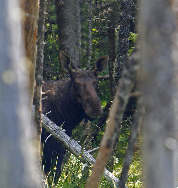 Cow moose in Salmonei Nature Park.  Everyone warned me to look out for  moose while driving, I looked at a lot of moose habitat but the only one I saw was in this nature park.