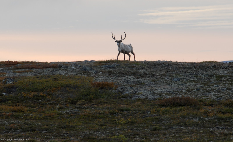 An adult  male caribou slowly passing by without a worry in the world.