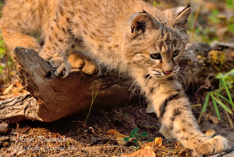 Bobcat Cub. Northern Montana.