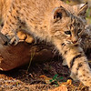 Bobcat Cub. Northern Montana.