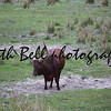 Ankole - Watusi cattle brown standing