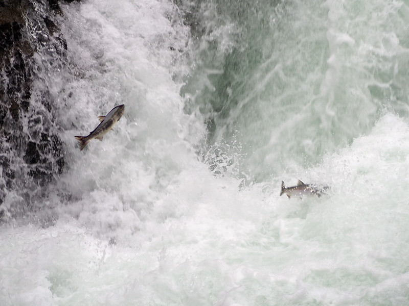 Sockeyes attacking the Stamp River Falls