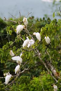 White Herons in Dangriga, Stann Creek, Belize.