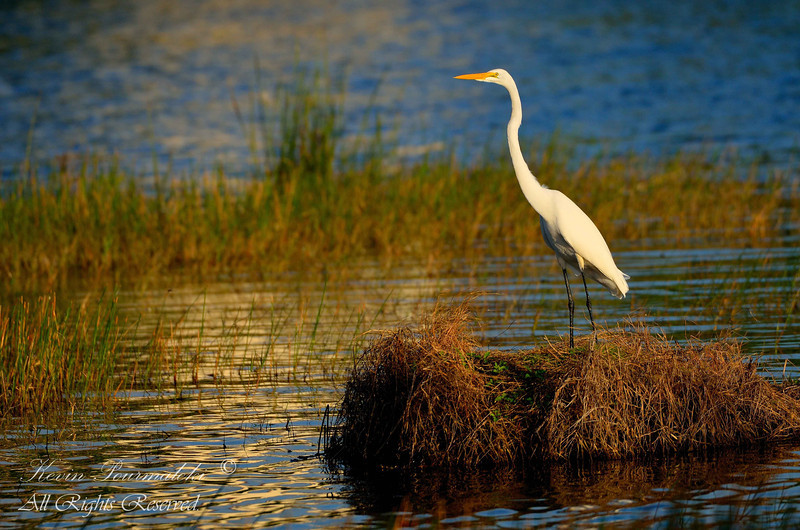Great Egret, Miramar.  South Florida