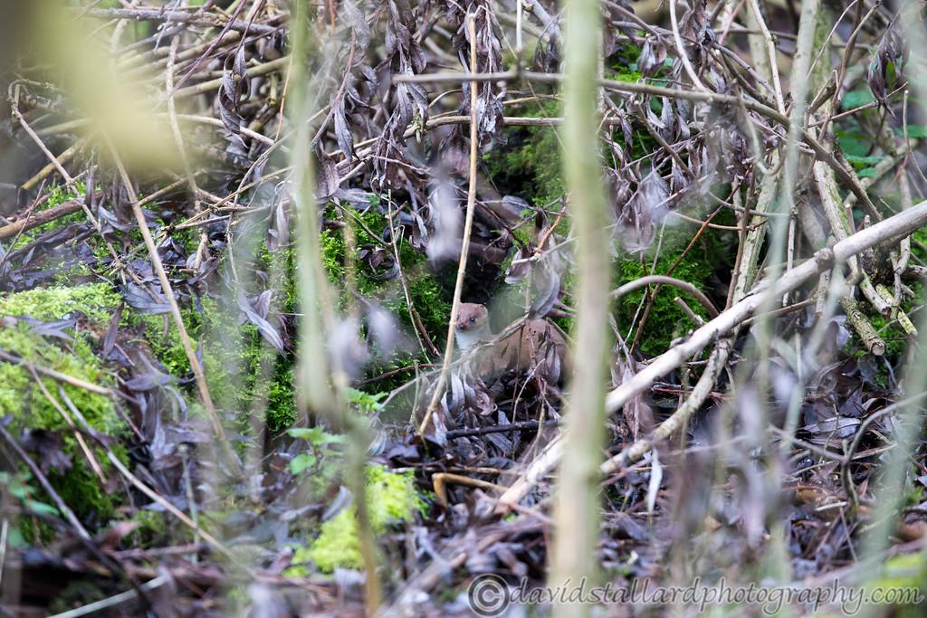 IMAGE: http://www.davidstallardphotography.com/Animals/Wildlife/i-hr6dXzc/0/XL/Lee%20Valley%2022-02-15%20%20007-XL.jpg