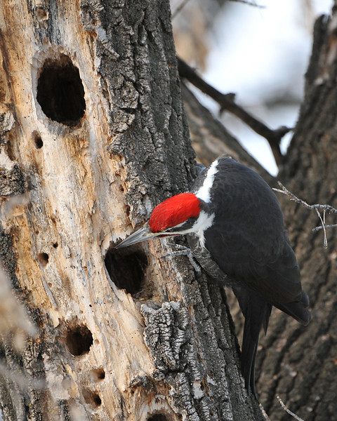 Pileated Woodpecker 02