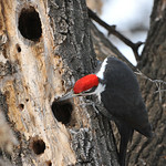 Pileated Woodpecker 02