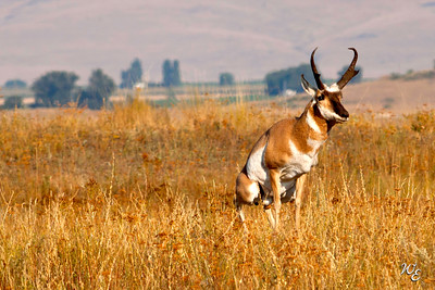 "Pronghorn in a ""Private"" Moment"