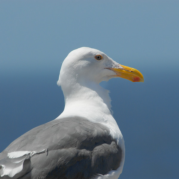 Seagull Up Close