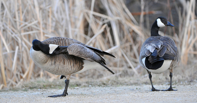 Canadian Goose 02
