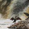 Cormorants. Florida.