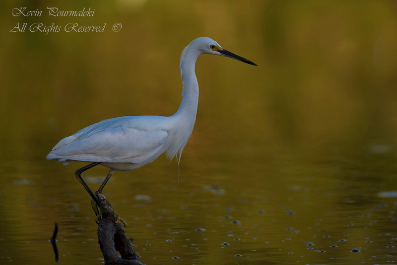 Snowy Egret. Everglades Nation Park, South Florida.