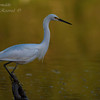 Snowy Egret. Everglades Nation Park, South Florida.