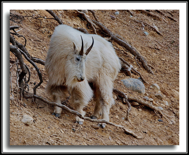 Daddy Mountain Goat near Yoho National Park / BC-Alberta border.