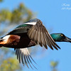Shoveler Duck. Everglades National Park, South Florida.