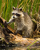 Raccoon on a log