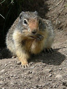Columbian Ground Squirrel at Lightning Lake Day Area