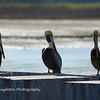 Pelicans, Harbor Town, HHI, SC