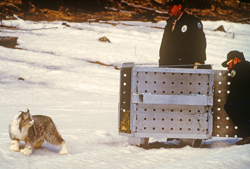 Two Wildlife Officers release a Lynx in 1999.