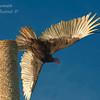 Turkey Vulture.  Everglades National Park, South Florida.
